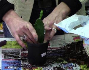Пересадка кактуса опунция