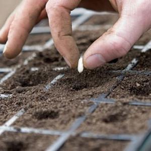 Посев семян  штокрозы