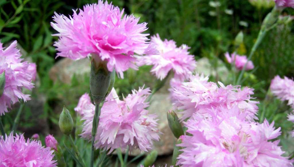 Гвоздика садовая шабо