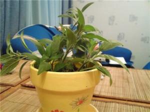 Обрезка растения руэллия