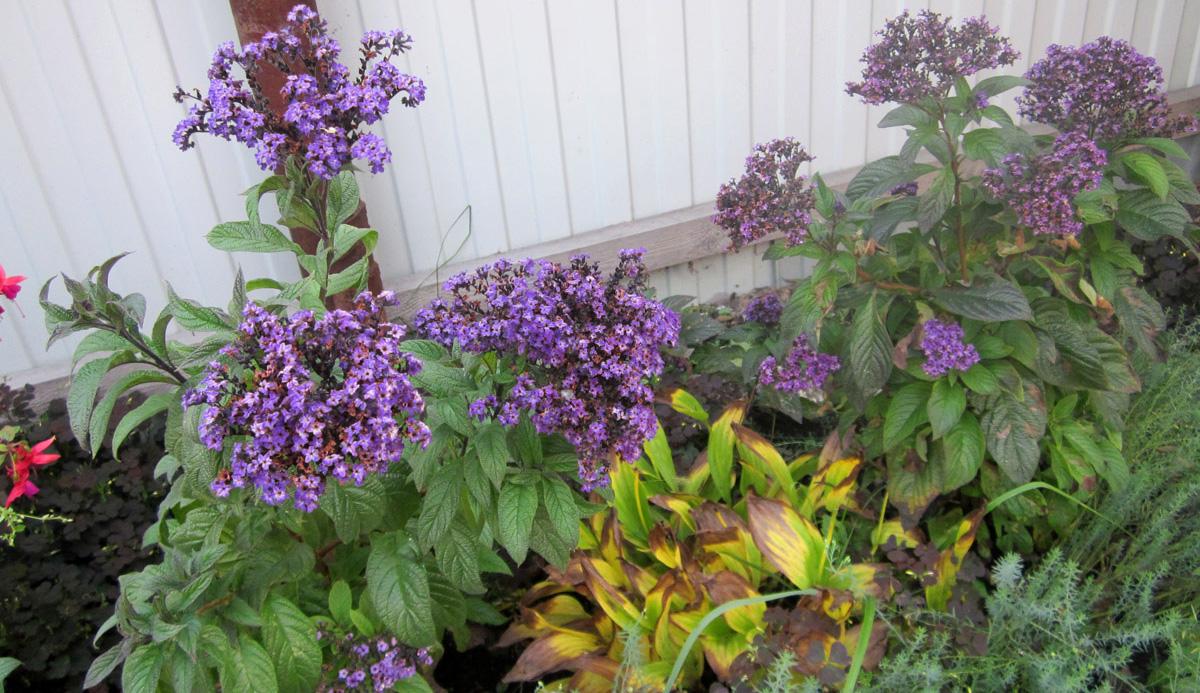 Уход за растением гелиотроп