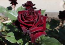 Как вырастить чёрную розу Блэк Баккара