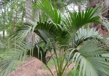 Пальма ховея