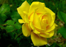 Голден Медальон, жёлтая роза