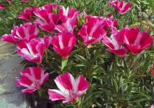 Кларкия и фотографии цветов