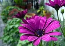 Диморфотека и фото цветка