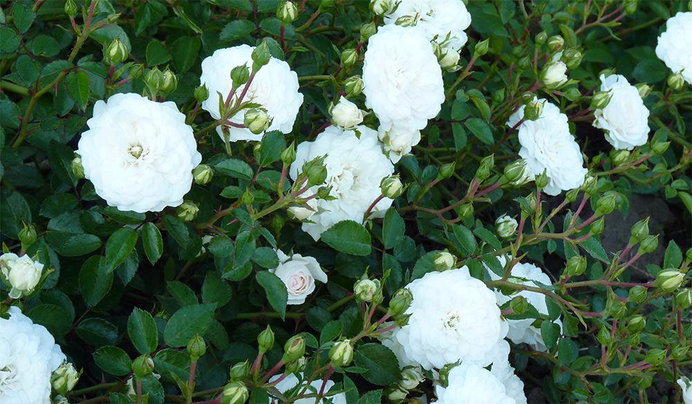 Роза «Свани»