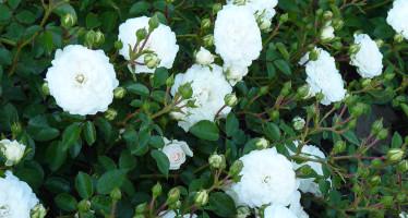 Роза «Свани» почвопокровная