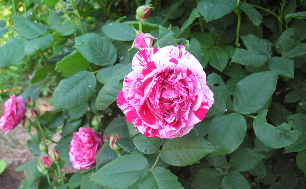 Фердинанд Пичард розы