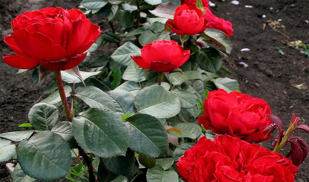 Роза Травиата