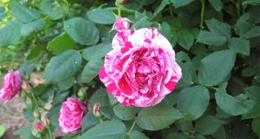 Розы Фердинанд Пичард
