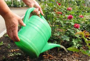 Полив и подкормка роз
