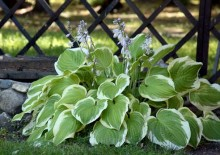 Хоста, фото растения
