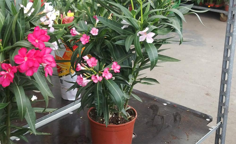 Олеандр выращивание и уход в домашних условиях  515