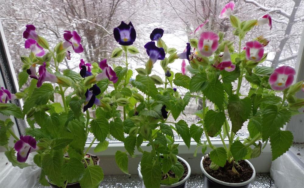 Размещайте цветок Торения там где нет солнечных лучей а есть рассеянный свет.