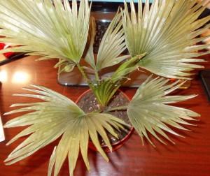 Пальма ливистона вянет и желтеет