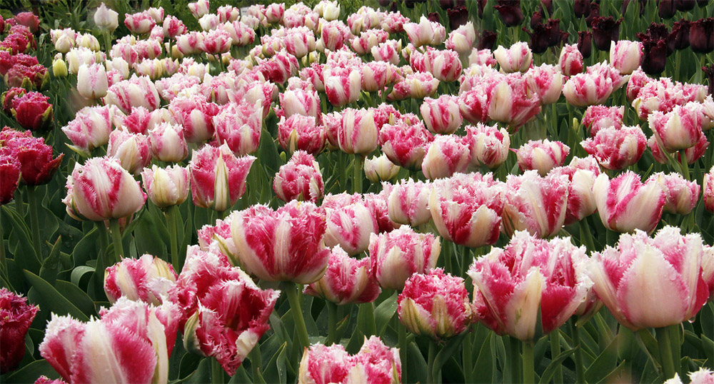 Тюльпаны Cool Crystal