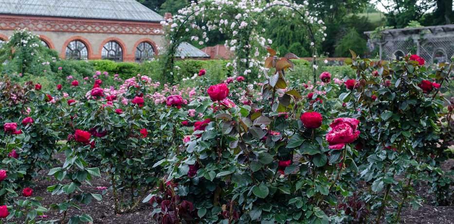 Роза Травиата в ландшафтном дизайне