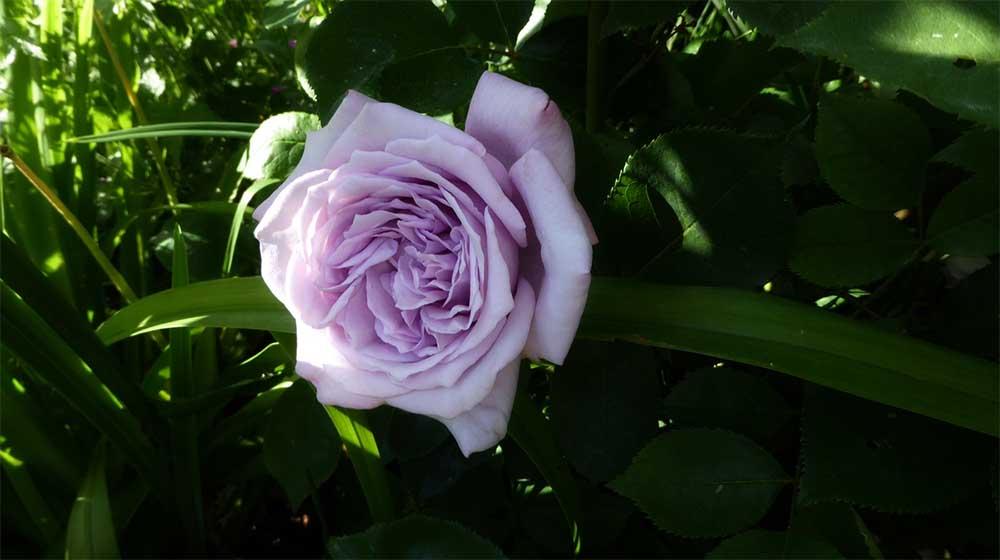 Роза Блю мун в саду