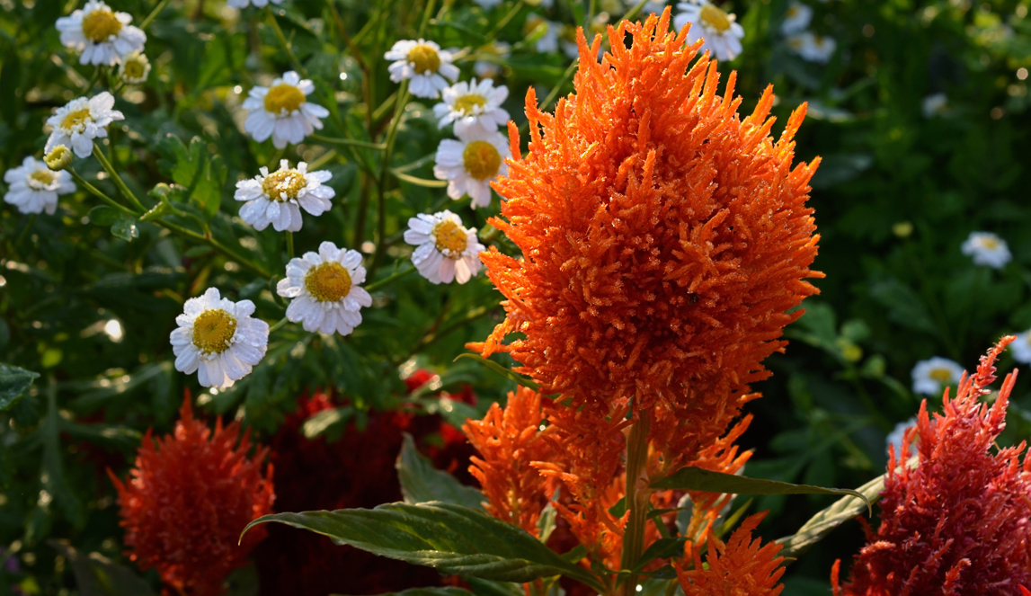Цветок целозия фото
