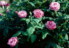 Фердинанд Пичард и фото сорта роз