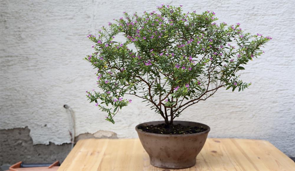 Куфея иссополистная (Cupheahyssopifolia)