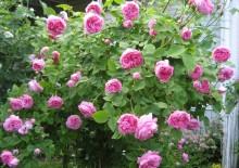 Роза Луис Одьер и фото розы