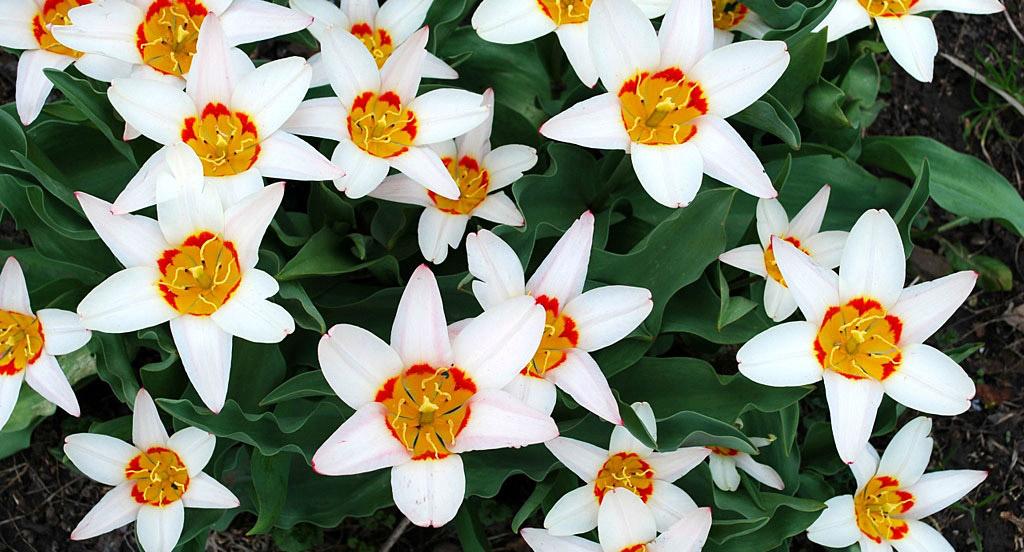 Тюльпаны Аncillа