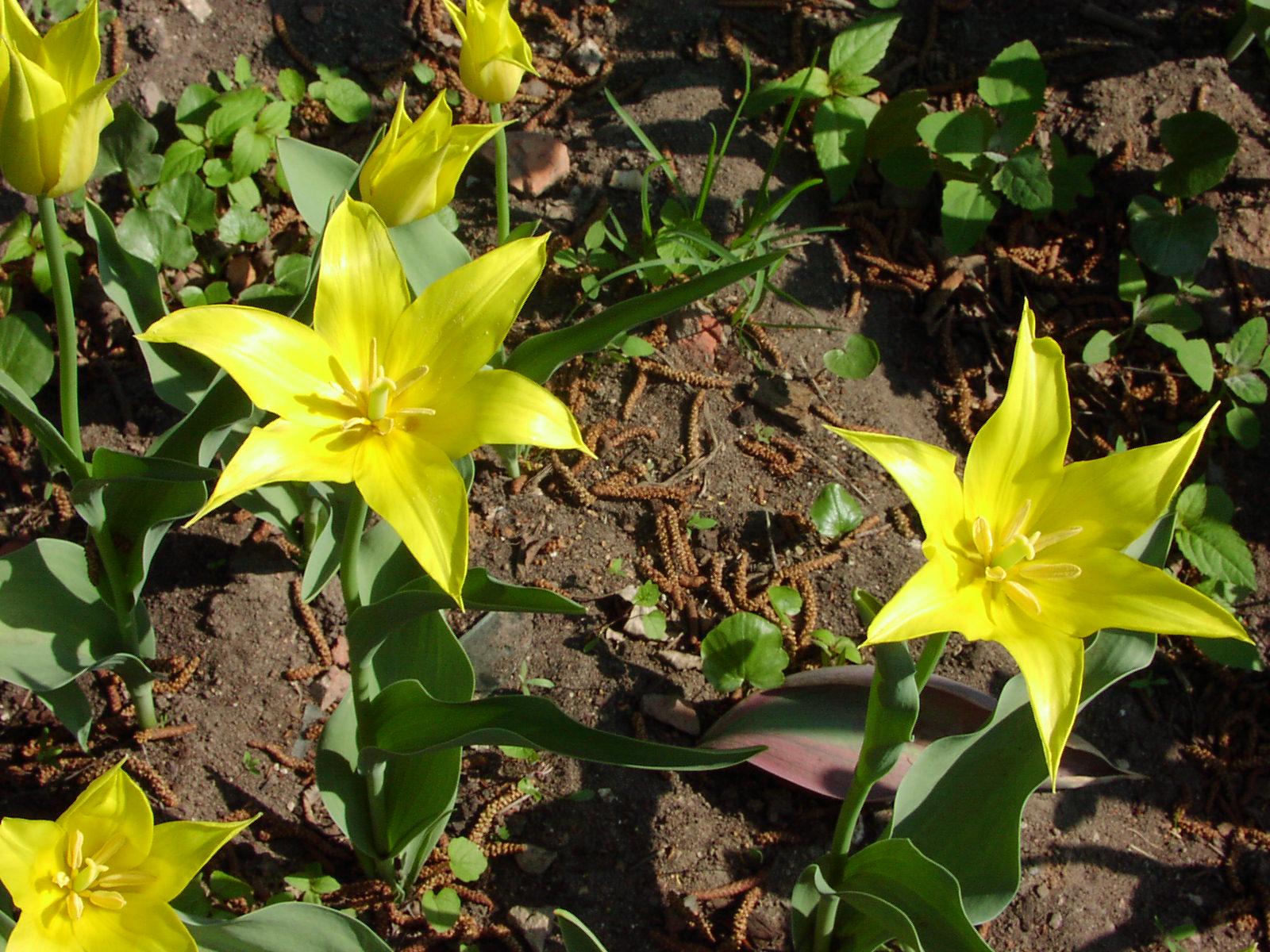 Тюльпаны Acuminata