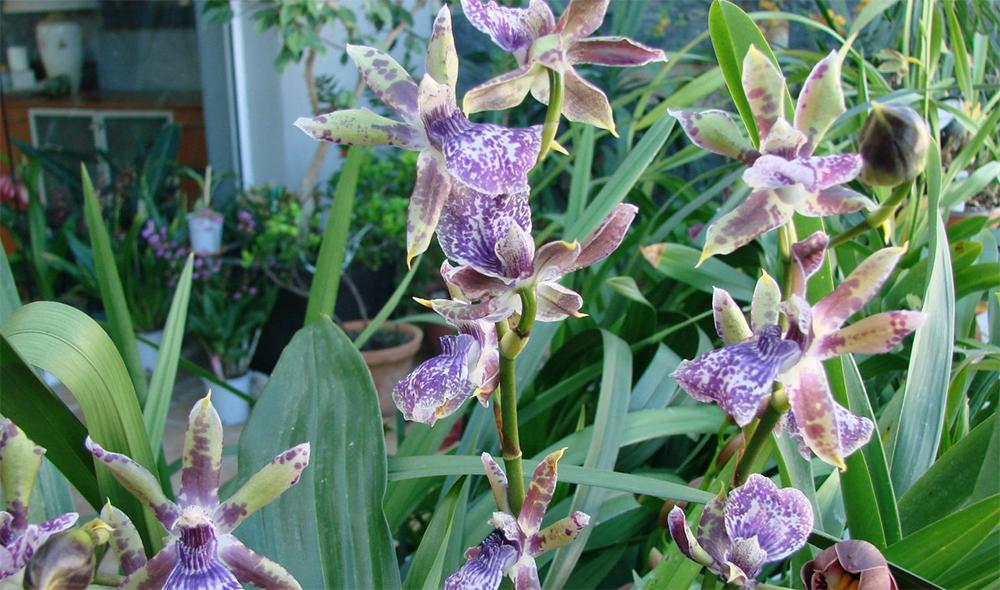 Зигопеталум цветет