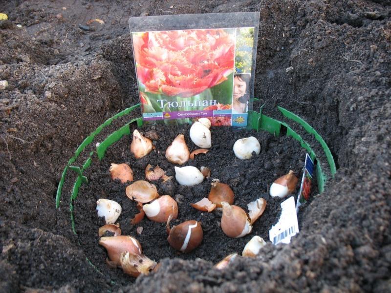 как посадить тюльпаны фото клумб