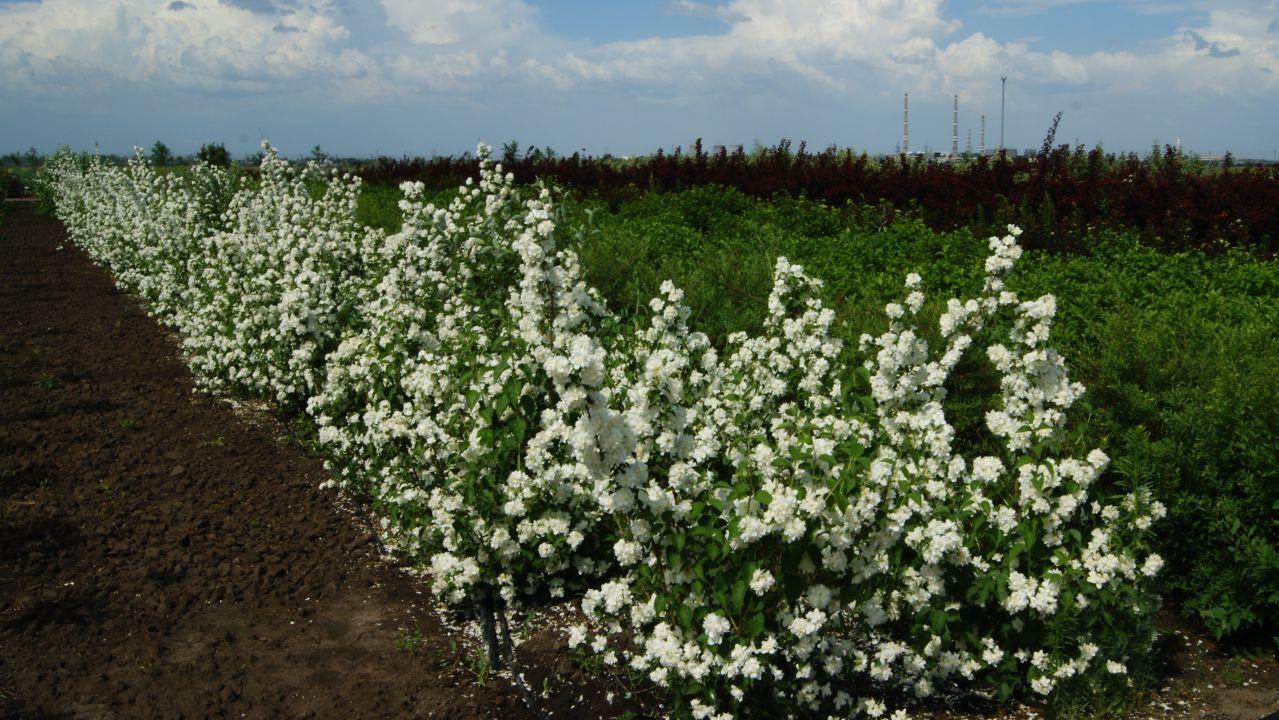 Пересадка жасмина садового