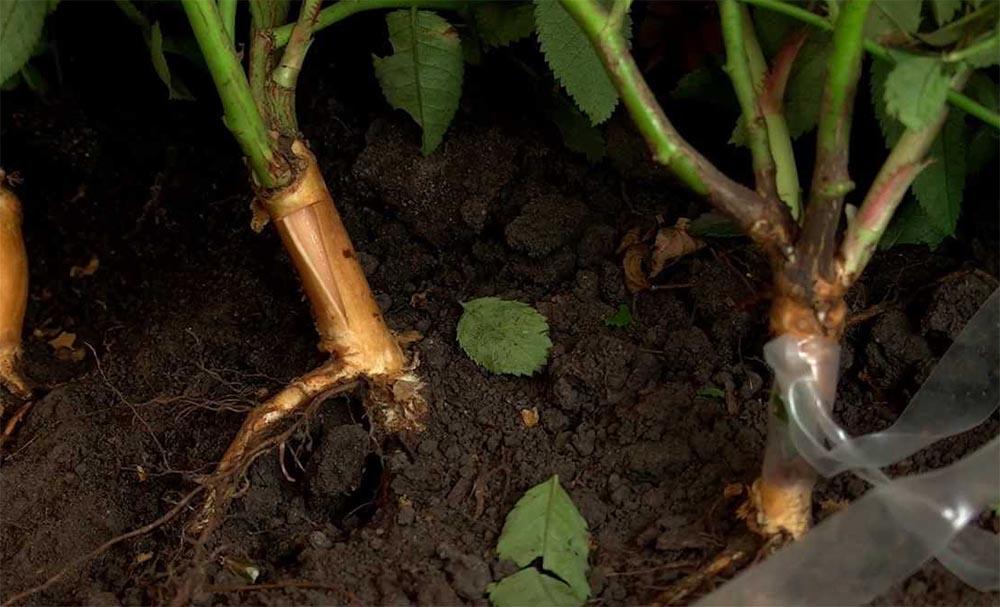 Размножение сорта розы Чайковский