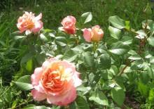 Роза сорта Мари Кюри и ее фото