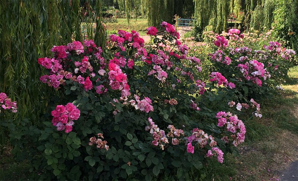 Использование роз Вильям Шекспир в ландшафтном дизайне