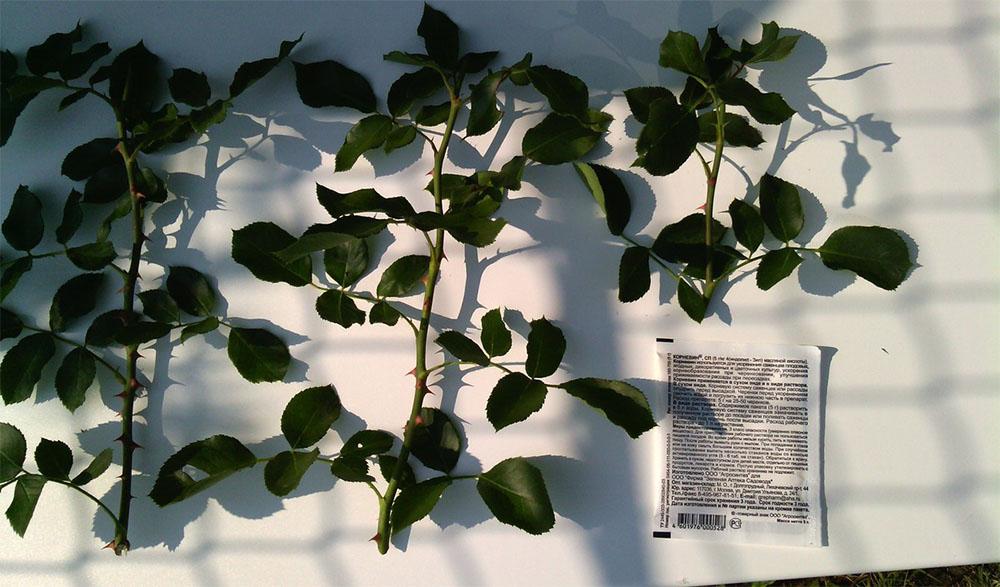 Способы размножения роз Фальстаф