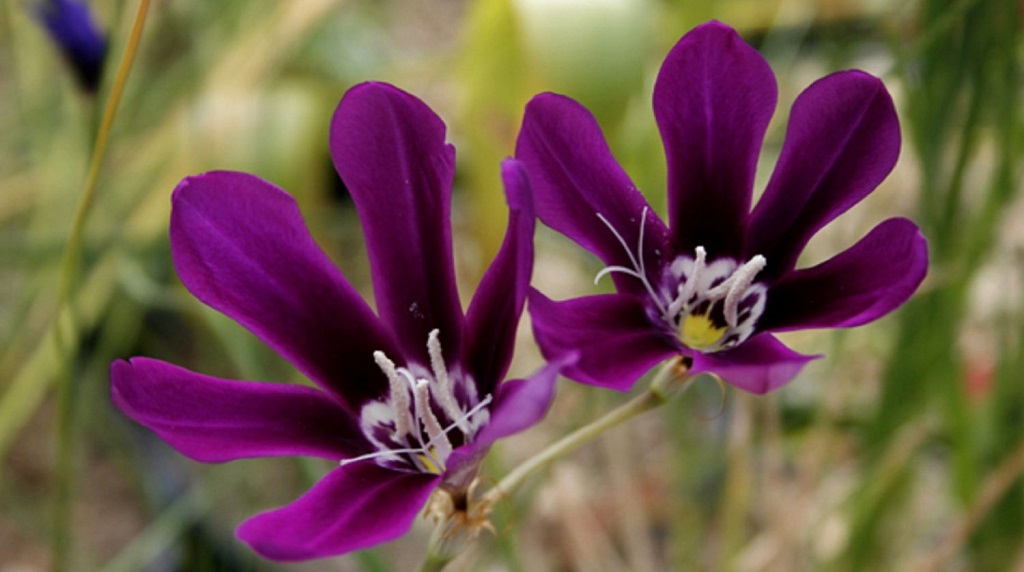 Фиолетовый спараксис
