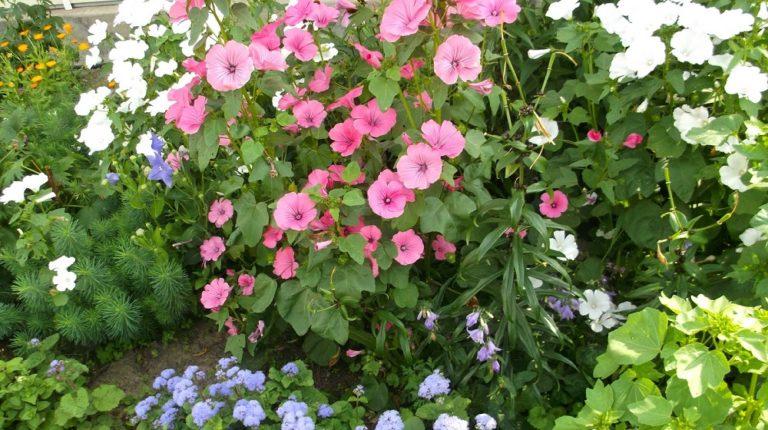 Лаватера многолетняя и другие виды данного растения