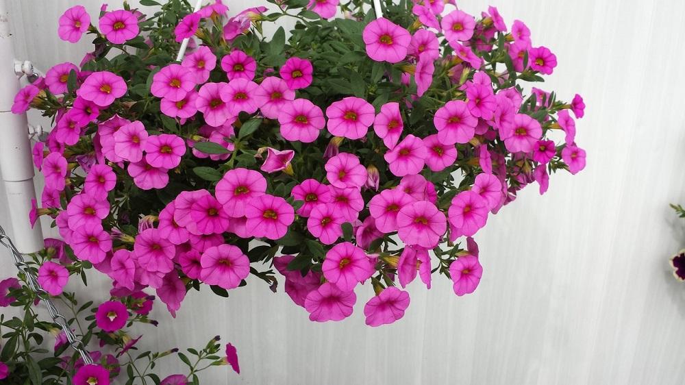 Цветы сульфиния