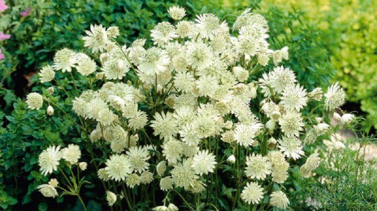 Астранция цветок выращивание 70