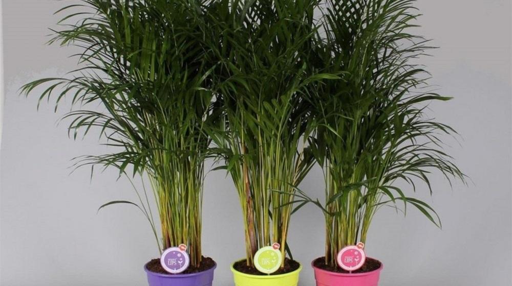 Уход за пальмой в домашних условиях пересадка 45