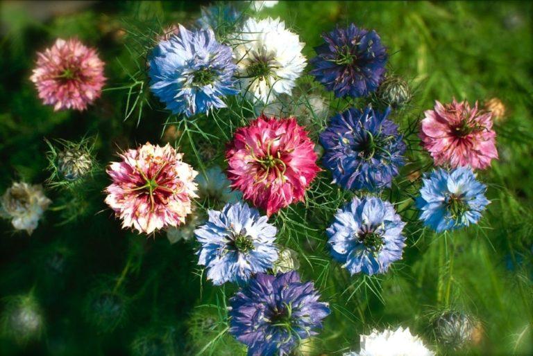 Нигелла альбина выращивание из семян 56