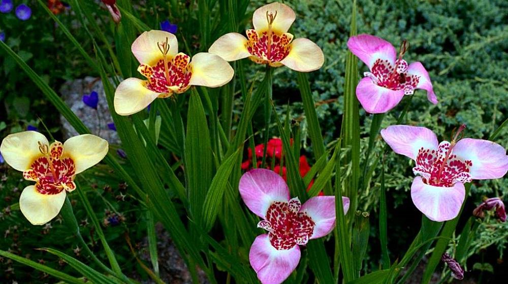 Цветы тигридии