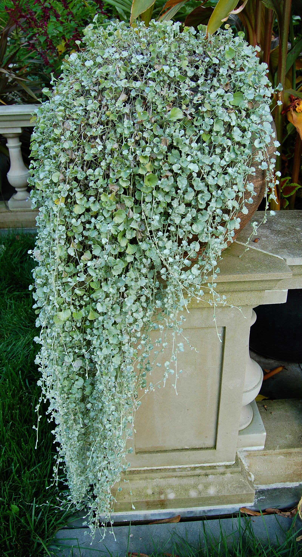 Спирея Бумальда: описание кустарника, популярные сорта и
