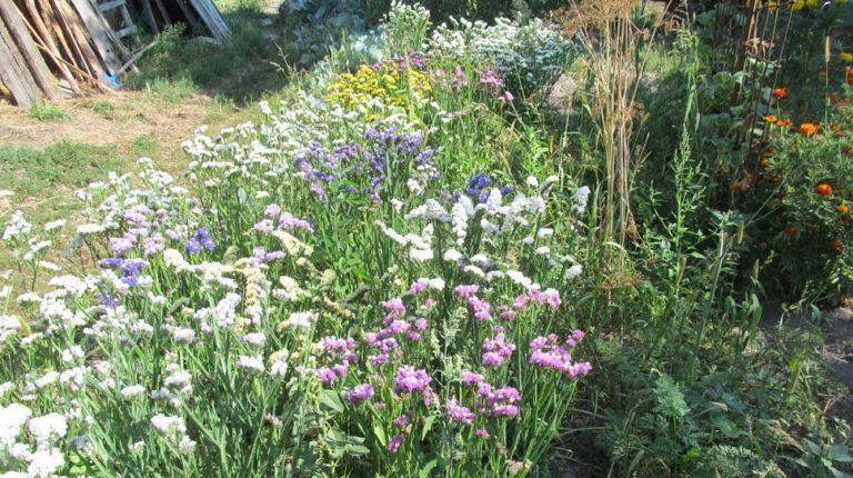 Цветы лимониум выращивание 53