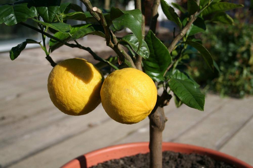 Чем подкармливать лимон в домашних условиях 539