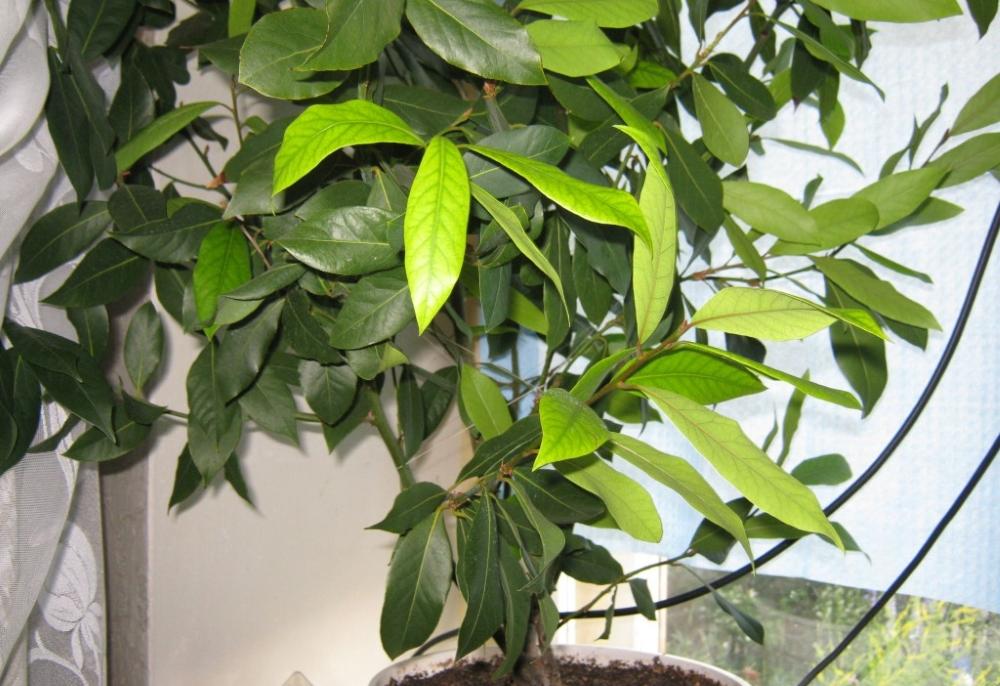 Лавр уход и выращивание в саду 4