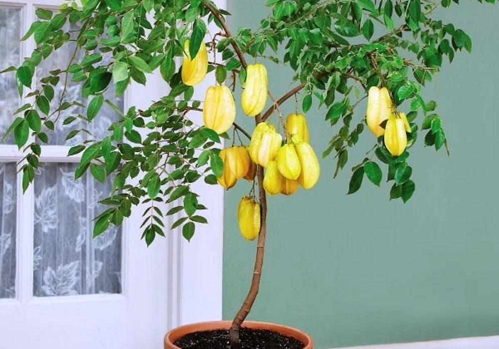 Карамбола выращивание в домашних условиях 65