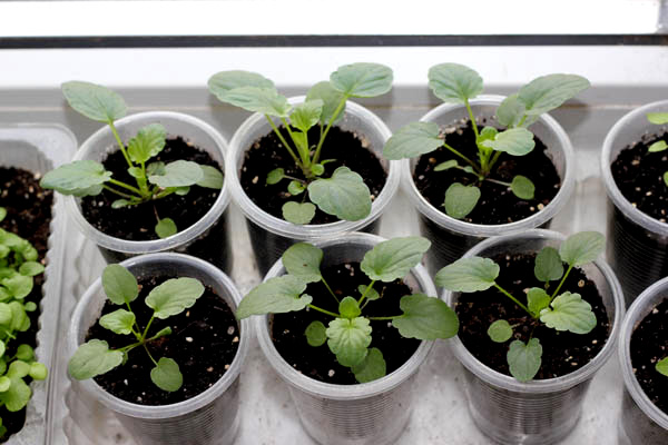 Виола цветы выращивание из семян осенний посев 71