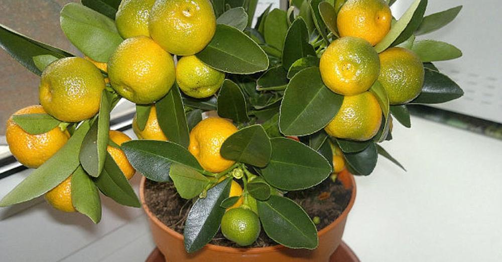 Как привить мандарин в домашних условиях, чтобы он плодоносил, фото, видео и пошаговая инструкция